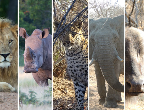 10 Wild Facts About The Big 5 🦁🐘🐆🦏🐃