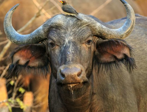 Disease free Buffalos at Moditlo River Lodge